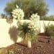 Spanish Bayonet succulent in full bloom