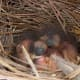 baby bluebirds a couple of days old.