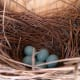 bluebird eggs in the nest.