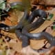 A back racer waiting  for prey in dry leaves.  Photograph taken in in Carrboro, North Carolina, 2006.  Although the snake is an accomplished hunter, they are nonvenomous and therefore not threatening to humans, although their bite is still painful.