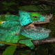 Parson's chameleon, the biggest chameleon known to man is a Madagascar native.