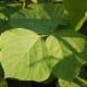 A close-up of kudzu leaves.