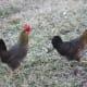 Brown leghorn hens
