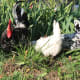 Exchequer rooster, white hen, and exchequer hen