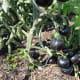 Dark purple tomatoes (Indigo Rose)