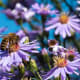 Asters, one of a bee's favorite flowers.