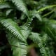 Ferns are types of plants. Sword ferns in the temperate rainforest of Kaien Island