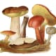 This vintage scientific illustration includes some edible Russulas of the Basidiomycota family.