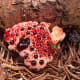 "Hydnellum peckii has some sinister names, including ""bleeding tooth fungus,"" and ""Devil's tooth fungus,"" but at least it is not poisonous. I think it is rather attractive!"