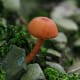 This Orange Waxy Cap Mushroom (hygrocybe) was found in Frewsburg, New York.