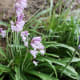 Pink bluebells growing just outside someone's front garden