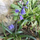Hybrids with an arched upper stem resembling that of English bluebells