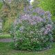 Lilac Shrub