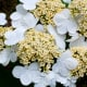 'Viburnum' Summer Snowflake Flower (with centers open)