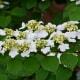 'Viburnum' Summer Snowflake Branch