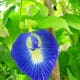The Butterfly Pea is used as as food colorant in some cultures.