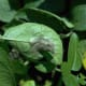 A late blight infection caused by Phytophthora infestans on a leaf