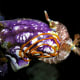Nembrotha lineolata