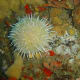 Gilchrist's sea urchin