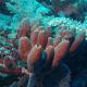 Unidentified Porifera photo from Wikipedia