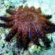 Acanthaster brevispinus