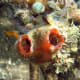 Photo of an unidentified sea squirt from Wikipedia