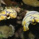 Photo of unidentified sea squirts from Wikipedia