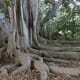 Buttress roots on bay fig tree at South Coast Botanical Garden in Palos Verdes Estates, California