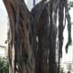 Aerial roots of Ficus Sycomorus