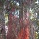 Aerial roots of Pohutukawa