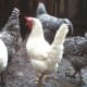 One of my prized white Leghorn ladies! (With some Dominique and Barred Rock buddies.)