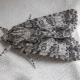 Scarce Dagger Moth
