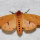 Isabella Tiger Moth