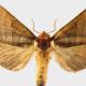 Azalea Moth