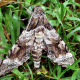 Giant Sphinx Moth