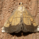 Evergestis Species Moth