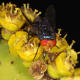 Flies pollinating Euphorbia barnardii at the Pretoria National Botanical Garden, South Africa