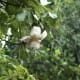 The fragrant white flowers are about 6 inches across and are pollinated by bats.