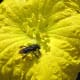 Unidentified Meliponini bee, covered with pollen, visiting a flower of the Vegetable Sponge Gourd (Luffa cylindrica) in Campinas, Brazil