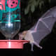 The highlight of staying at Sunglow Ranch was seeing the bats come to the hummingbird feeders.These bats are migratory, spending summers in southern Arizona and winters in Mexico. These bats are important pollinators of several cacti species.
