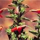 Typical Bird-Pollinated Flowers: Scarlet monkeyflower