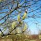 Female catkins of Salix caprea showing their pistils