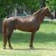 Horse With Myotonia Congenita.