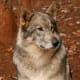 Rescued wolf dog - often these animals reside in santuaries when they become too much for pet owners to handle.