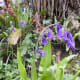 An English bluebell can be differentiated from its Spanish cousin by its drooping habit.