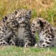 Three siblings: Snow leopard cubs at the Cat Survival Trust, Welwyn, UK.