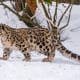 facts-about-snow-leopards