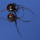 To identify a black widow, look for the dorsal and ventral markings.