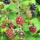 Ripening berries