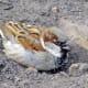 A male house sparrow dust-bathing